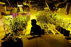 Even Pot Dealers Need Insurance. The Problem Is, Where to Get It?