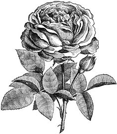 **FREE ViNTaGE DiGiTaL STaMPS**: Free Digital Stamp - Another Rose Blossom