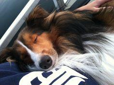 Sami the Sheltie sleeping on the boat.