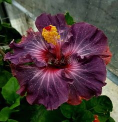 hibiscus flower botanical name Flowers, Pretty Flowers, Unusual Flowers, Hibiscus Plant, Gumamela, Hibiscus Flowers, Hibiscus, Planting Flowers, Tropical Flowers