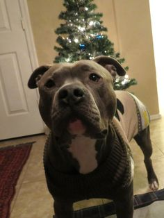 Merry Christmas - Knight Sabre the Thunderfoot - pit bull - 1 year - ABPT/AmStaff Mix #pitbull