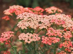 A unique color! Good-looking, compact, bushy and heat loving, Achillea millefolium 'Apricot Delight' is a stunning Yarrow with its masses of long-lasting flower clusters in various shades of pink, from palest apricot to near red. Garden Shrubs, Garden Plants, Flowers Perennials, Planting Flowers, Yarrow Plant, Achillea Millefolium, Cut Flower Garden, Low Maintenance Plants, Plantation