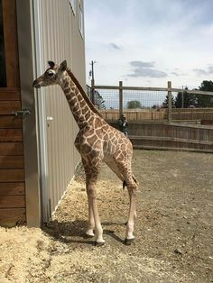 April the giraffe Tajiri Funny Story Today - Animal Adventure Park Giraffe Pictures, Animal Pictures, Cute Pictures, Zoo Animals, Cute Baby Animals, Animals And Pets, Beautiful Creatures, Animals Beautiful, Jaguar