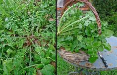 HORTA: Some Greek Edible Wild Greens | Aglaia's Table in Kea Cyclades