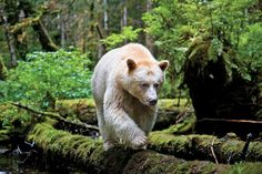 In a moss-draped rain forest in British Columbia, towering red cedars live a thousand years, and black bears are born with white fur. Paul-Nicklen-Spirit-Bear-011.jpg