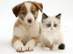 Blue-Eyed Red Merle Border Collie Puppy with Birman-Cross Kitten