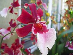 "Intergeneric Orchid miltonidium bartley schwartz highlands | Miltonidium Bartley Schwartz ""Highland"""