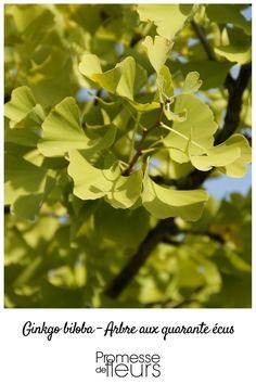 Ginkgo biloba, un arbre presque éternel... #ginkgo #zen #japonais