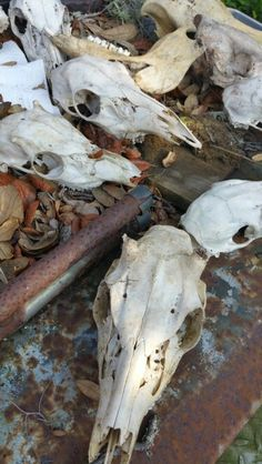 Deer skulls from the hunting camp