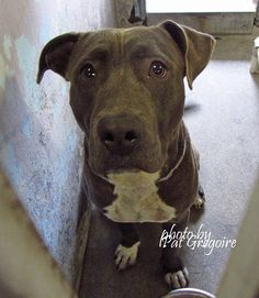 09/14/15-Baldwin Park CA A4778847 My name is King. I am a very friendly 10 month old neutered male gray/white pit bull mix. adopted 8/15 and returned to shelter 8/16/15. My owner left me here on July 15. available now I share these photos to help get these dogs seen and hopefully find homes. I do not work for the shelter nor do I rescue or pull. If you are interested in this dog, please contact the shelter directly to find out its availability. NOTE: Pit bulls are not kept as long