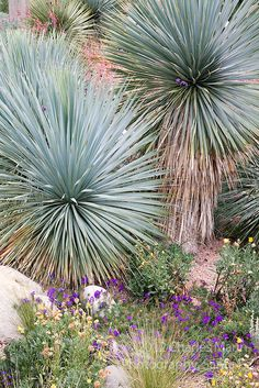 """Yucca rostrata.  This is a fantastic plant for sunny, hot, dry and neglected areas of the garden and can be used in the hell strip with ease as it is soft, flexible and unarmed.  Also tolerant of typical """"garden conditions"""" (irrigated) or in pots.  Very hardy and does well in the Berkeley area."""