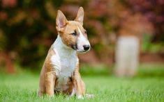 Download wallpapers Bull Terrier, white brown dog, green grass, small dog