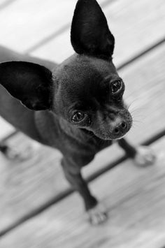 Chihuahua 2 Signed black and white print by cheeseandbean on Etsy, $10.00