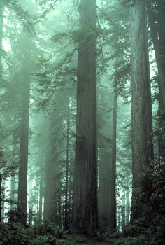 redwood forest, northern california.