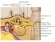 cranial-nerve-viii.jpg (539×415)