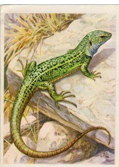Green Lizard Lizard Lacerta viridis vintage by sharonfostervintage, $3.00