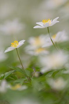 https://flic.kr/p/TsM8cK | Anémone des bois (Anemone nemorosa)