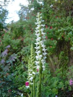 View picture of Orchid, Fragrant Ladie's Tresses, Spiranthes 'Chadds Ford'…