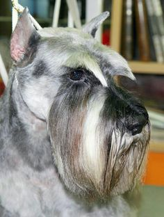 Ranked as one of the most popular dog breeds in the world, the Miniature Schnauzer is a cute little square faced furry coat. Schnauzers, Mini Schnauzer Puppies, Giant Schnauzer, Chihuahua Puppies, Miniature Schnauzer, Standard Schnauzer, Schnauzer Grooming, Pet Grooming, Training Tips