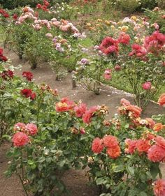 Information On The Spacing Of Roses In The Garden - Overcrowding of rose bushes can lead to major problems with various diseases, fungal and others. Keeping our rose bushes spaced well allows for good oxygen movement through and around the rose bushes, thus helping keep the diseases at bay. The good oxygen movement also increases the overall health and performance of the rose bushes.