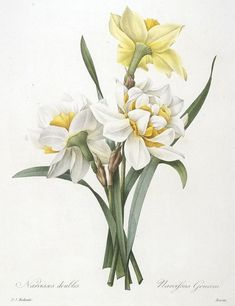 Narcissus gouani (Double Daffodil), 1827 by Redoute, Pierre Joseph (1759-1840) Art Vintage, Vintage Botanical Prints, Botanical Drawings, Botanical Illustration, Flower Drawings, Art Floral, Daffodil Flower, Flower Art, Art Flowers