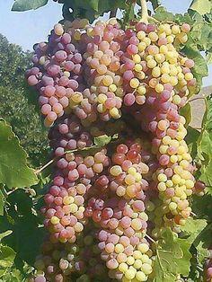 An abundance of grapes.