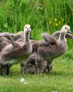 Group of goslings by Diane
