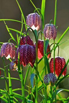 Snakes Heads (Fritillaria meleagris) -- my favorite bulb, a.k.a. Checkerboard Fritillaria