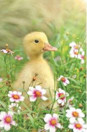 easter duckling