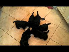 6 Scottie puppies form a moving pinwheel around their shared drinking bowl