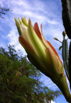 Cactus flower at dawn