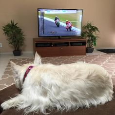 When it's not MotoGP it's WorldSBK. Race today and race tomorrow I better get a decent walk for being so patient. Hope everyone has a lovely weekend. (May 28 2016) #westie #westhighlandwhiteterrier #westielove #westielife #westiegram #westietude #westiesofinstagram #dogs #dogoftheday #dogsofinstagram #doglovers #instagram @instagram #dogloversofinstagram #isabella #dogsofinstaworld #ilovemydog #pictureofheday #scottiesandwesties #instawestie #petsofinstaworld #westiemoments #lacyandpaws…