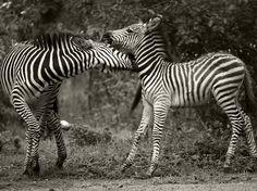 Zebras, in Zambia