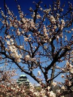 Photographic Print: Plum Blossoms & Osaka Castle, Japan Poster : 16x12in #Japan #travel #guide #TheRealJapan #Japanese #howtotravel #vacation  #trip #explore #adventure #traveltips #traveldeeper #jrpass  #japanrailpass #travelblog #tips #travelphotography #photography  www.therealjapan.com