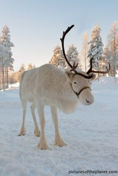 grandjunctionbroker: Male reindeer shed their antlers at the end of the mating season in early December. Females, however, keep their thinner antlers throughout the winter. If all the sightings are to be believed, then it is the gals tugging pudgy Santa and the goods through the winter sky. ~Charlotte (PixieWinksFairyWhispers)