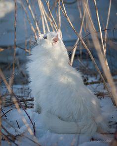 Norwegian forest cat, photography by Susanne Hvenegaard - ego-alterego.com