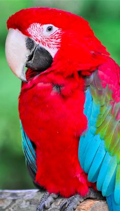 Colorful parrot at the Amneville Zoo in Lorraine, France • photo: Tambako The Jaguar on Flickr