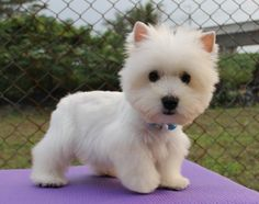 NeedleFelted Westie::6 inches.