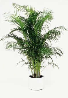 Golden Cane Palm, mine are in glossy black and fluro pink pots