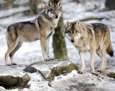 Credit: Jean-christophe Verhaegen/AFP/Getty Images European grey wolves in Rhodes, eastern France. A new study comparing DNA from modern dog...