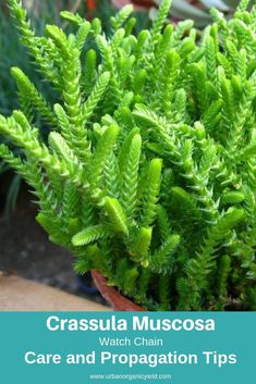 Watch Chain (Crassula Muscosa) - All For Garden Crassula Succulent, Succulent Gardening, Cacti And Succulents, Planting Succulents, Planting Flowers, Identifying Succulents, Types Of Cactus Plants, Different Types Of Succulents, Jade Plants