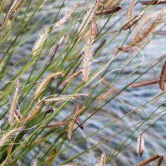 Бизонья трава для сухого ручья