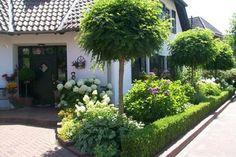 Vorgarten Kugelbaum