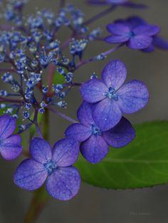 紫陽花(あじさい) アジアンビューティー 「ミヤビ」 Hydrangea 'Asian Beauty MIYABI'