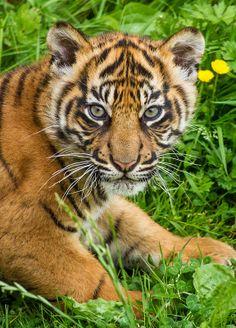 ~~Sumatran Tiger Cub