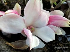 Tulip Magnolia ~ Spring Is Blossoming! (Garden of Len & Barb Rosen)