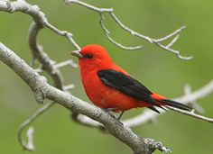 A striking black-winged red bird, the Scarlet Tanager is a common species of the eastern forest interior. Despite its brilliant coloring it is often overlooked because of its rather secretive behavior and its preference for the forest canopy.