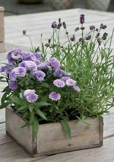 Country container gardening in purple