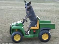 One-year-old Australian Cattle Dog Rogue gets behind the wheel of a child's electric truck and drives himself to the park