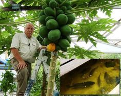 Papaya or paw paw grown in aquaponics